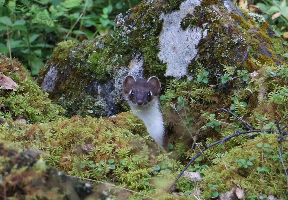 Ermini en un bosc de taiga a la laponia noruega.