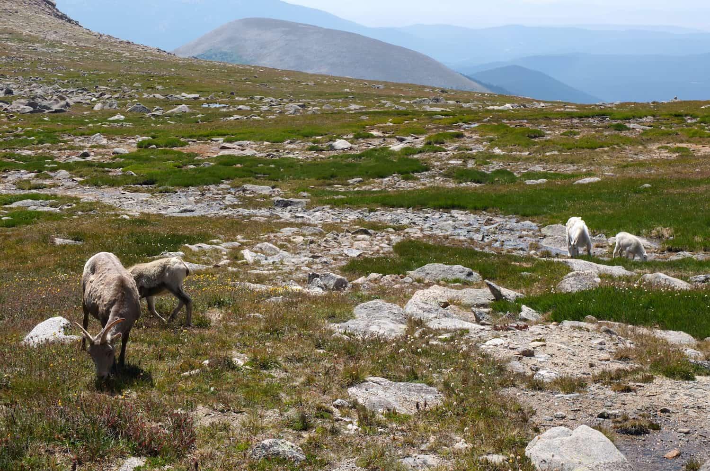 Muflons i cabres de les Rocalloses pasturan juntes.
