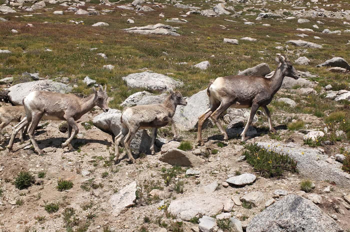 Femelles de mufló amb les seves cries, al Mount Evans, al estat de Colorado.