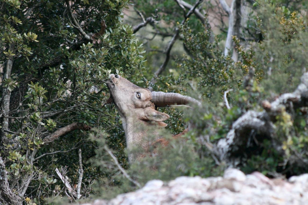 Mascle de cabra salvatge ibérica menjant fulles d'alzina.