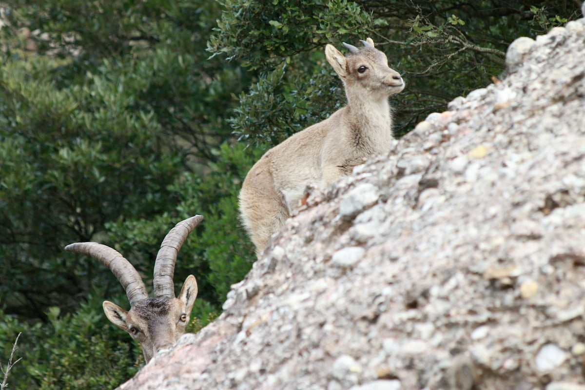 Male iberian ibex supervising a calf.