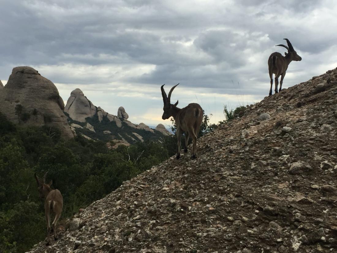 Grupo formado por machos, en una ladera rocosa.
