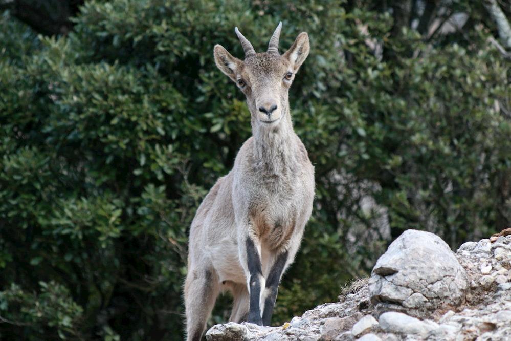 Female iberian ibex.