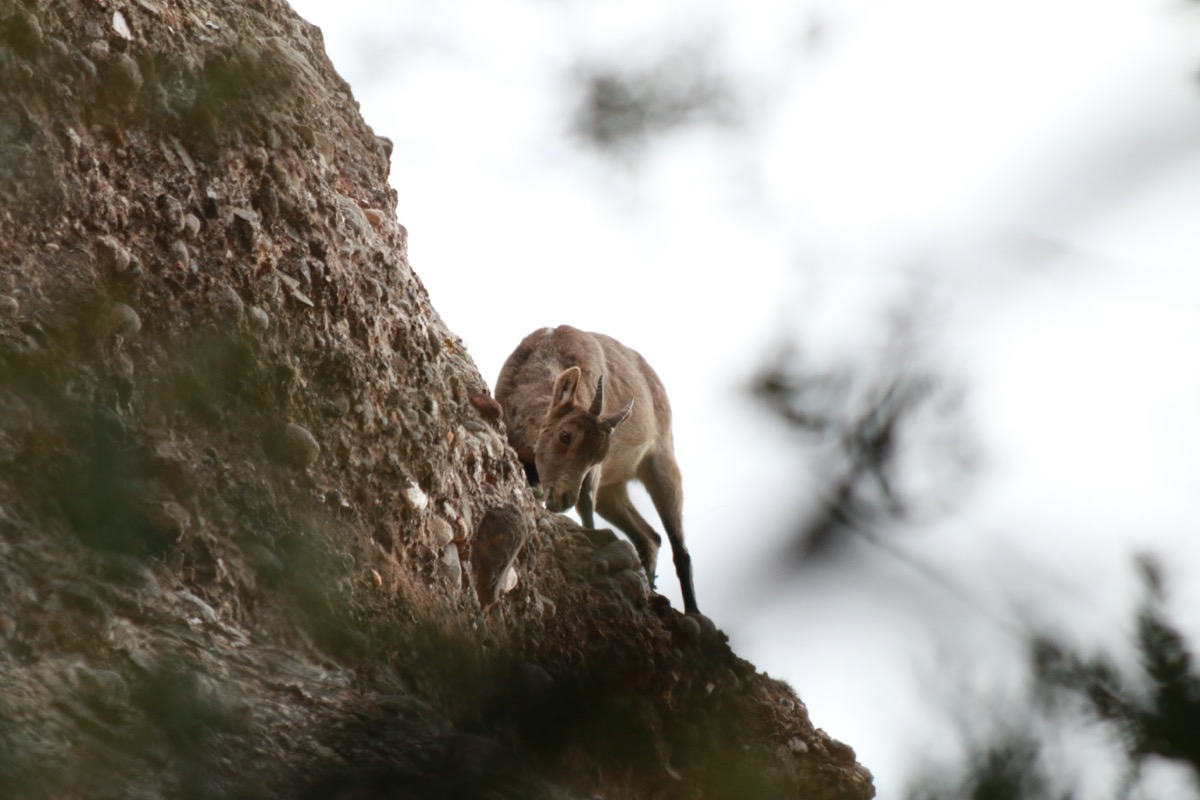 Female eating grass on a rock wall.