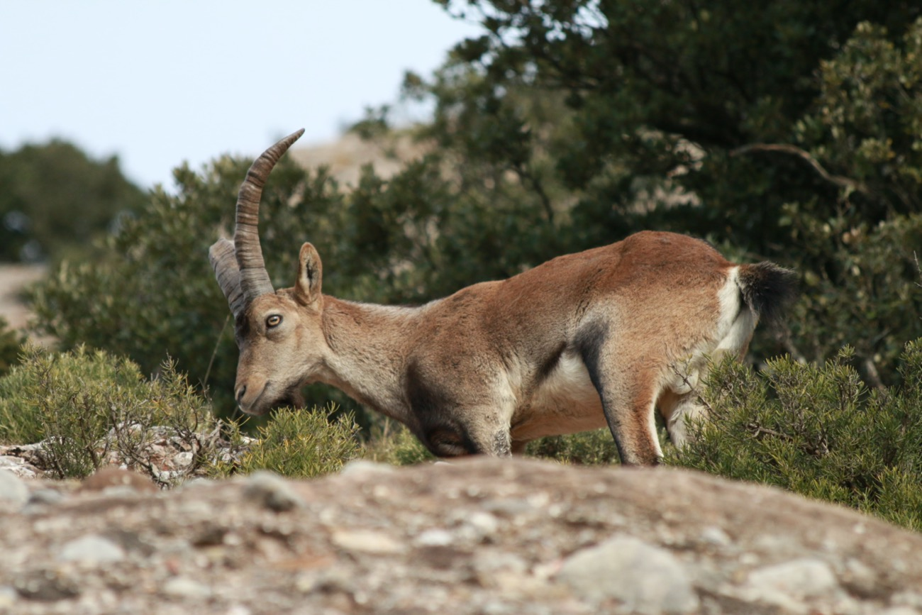Male iberian ibex walking on some rocks in Montserrat, in the municipality of el Bruc.