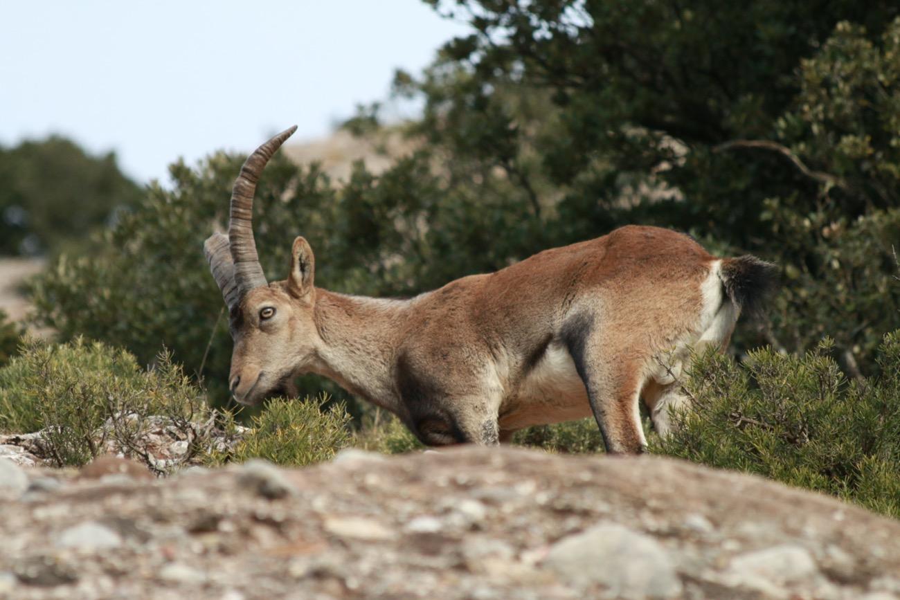 Cabra ibérica caminant en unes roques de Montserrat, al municipi de el Bruc.