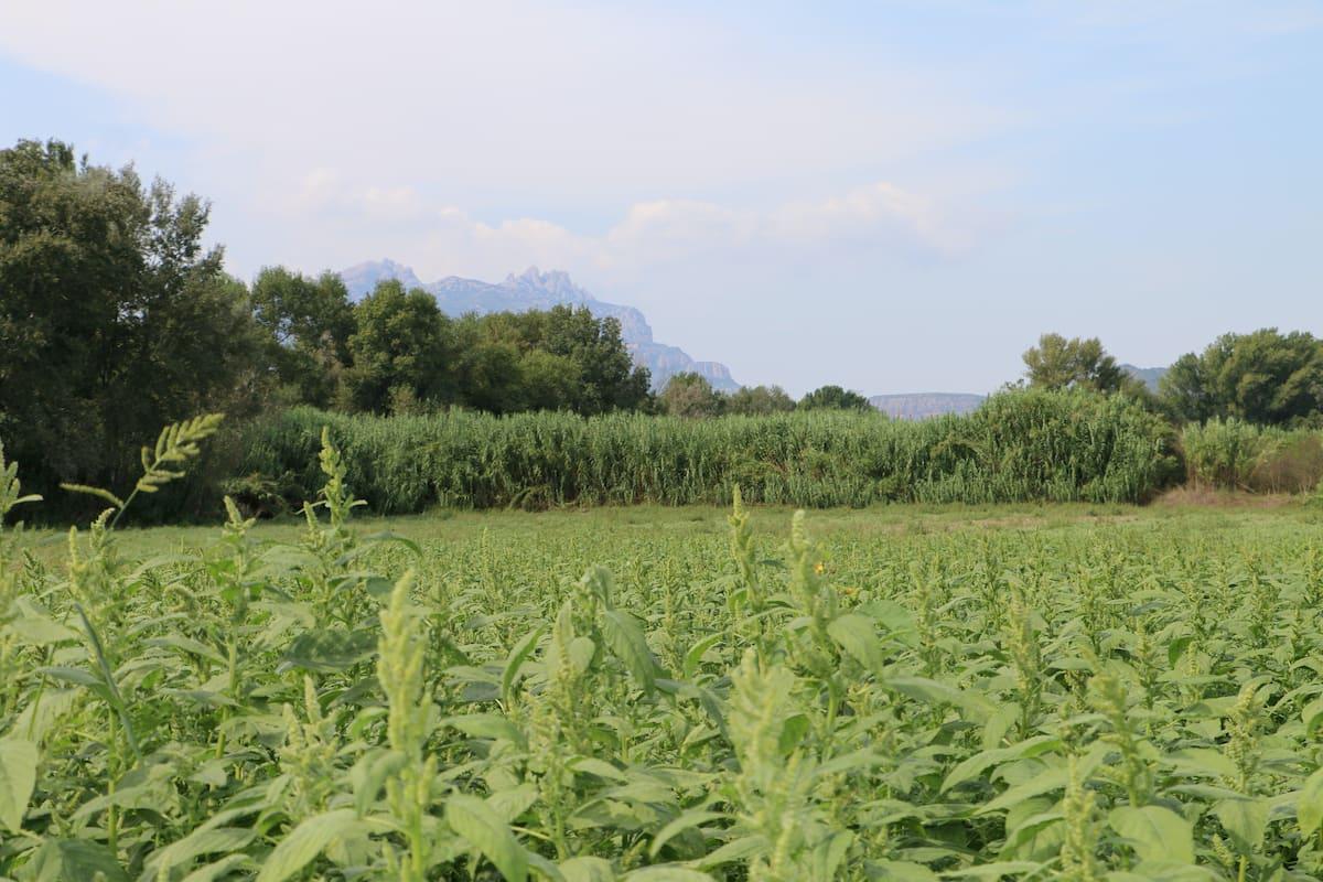Campo con la hierba alta, antes de pasar la grada de discos(all fondo puede observarse la montaña de Montserrat).