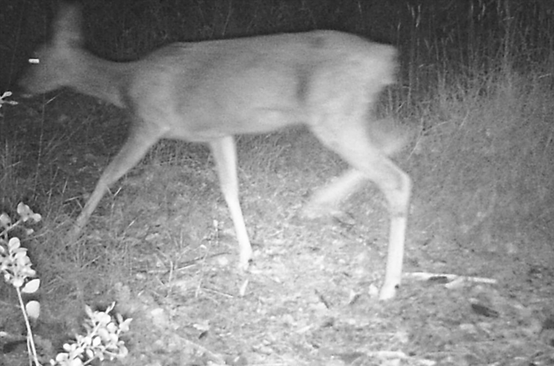 Female roe deer looking for food at night.