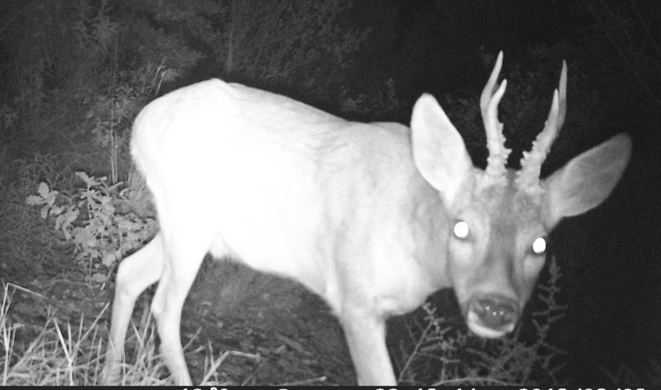 Trailcams are a very useful tool for obtaining images of roe deer.