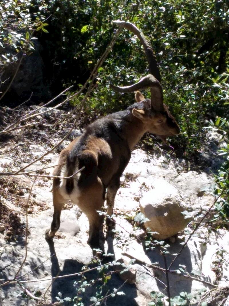Mascle de cabra ibérica amb banyes de mida gran.