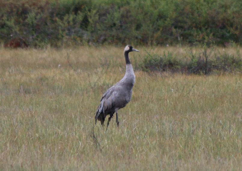 La grulla es una de las mayores aves de europa.