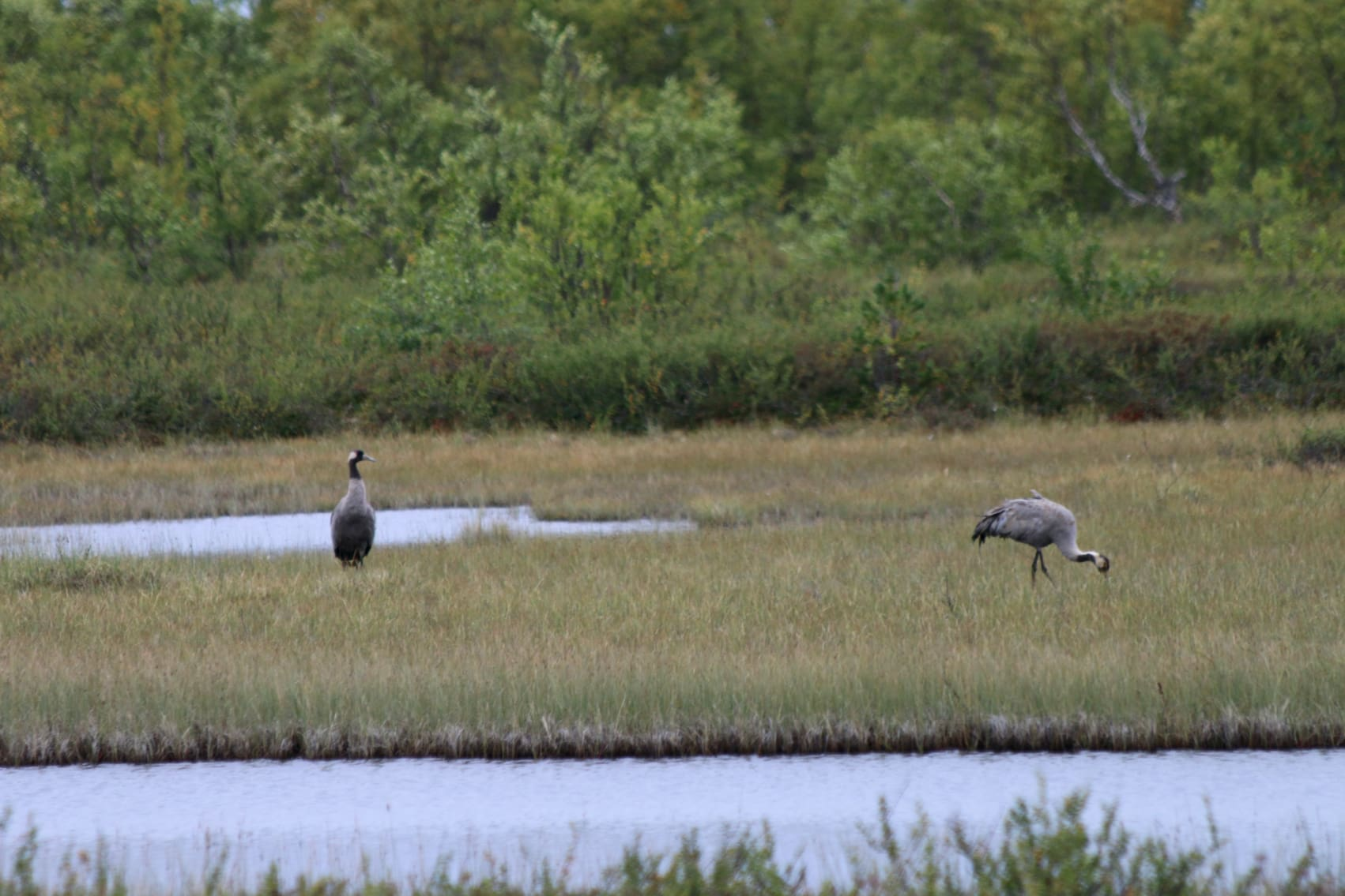 Cranes usually live in wet areas.
