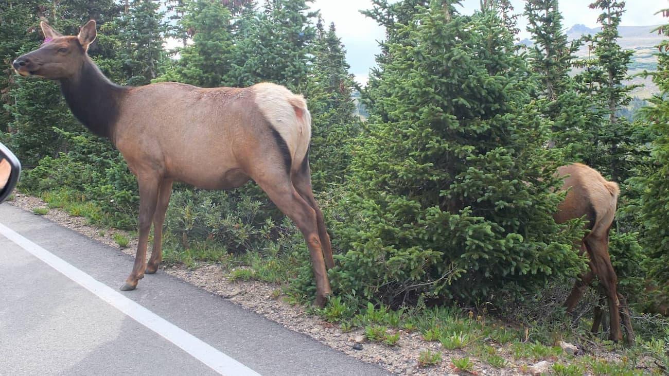 Femella de uapití xafardejant a la carretera.