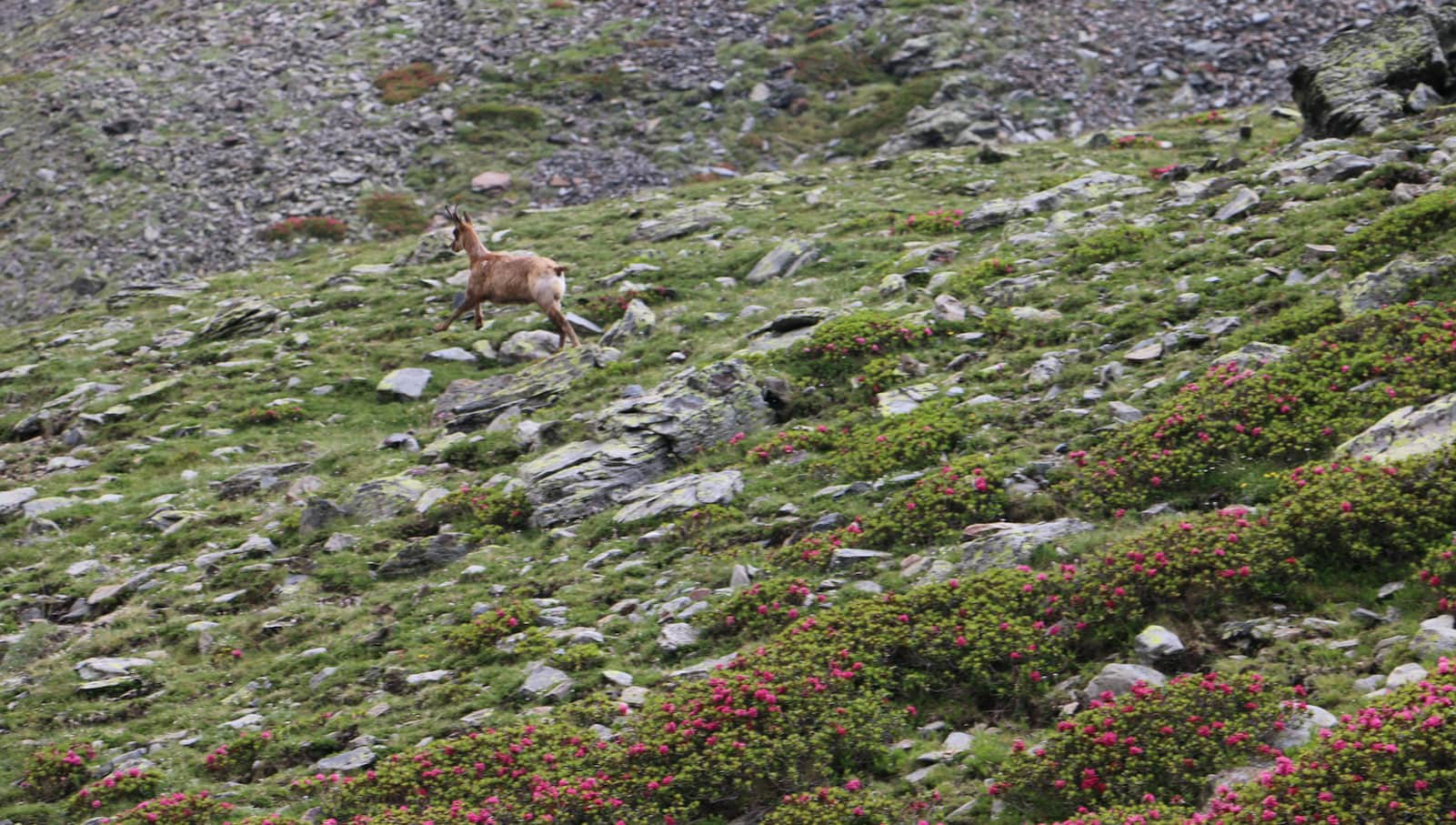 Chamois running in a meadow with rhododendrons.