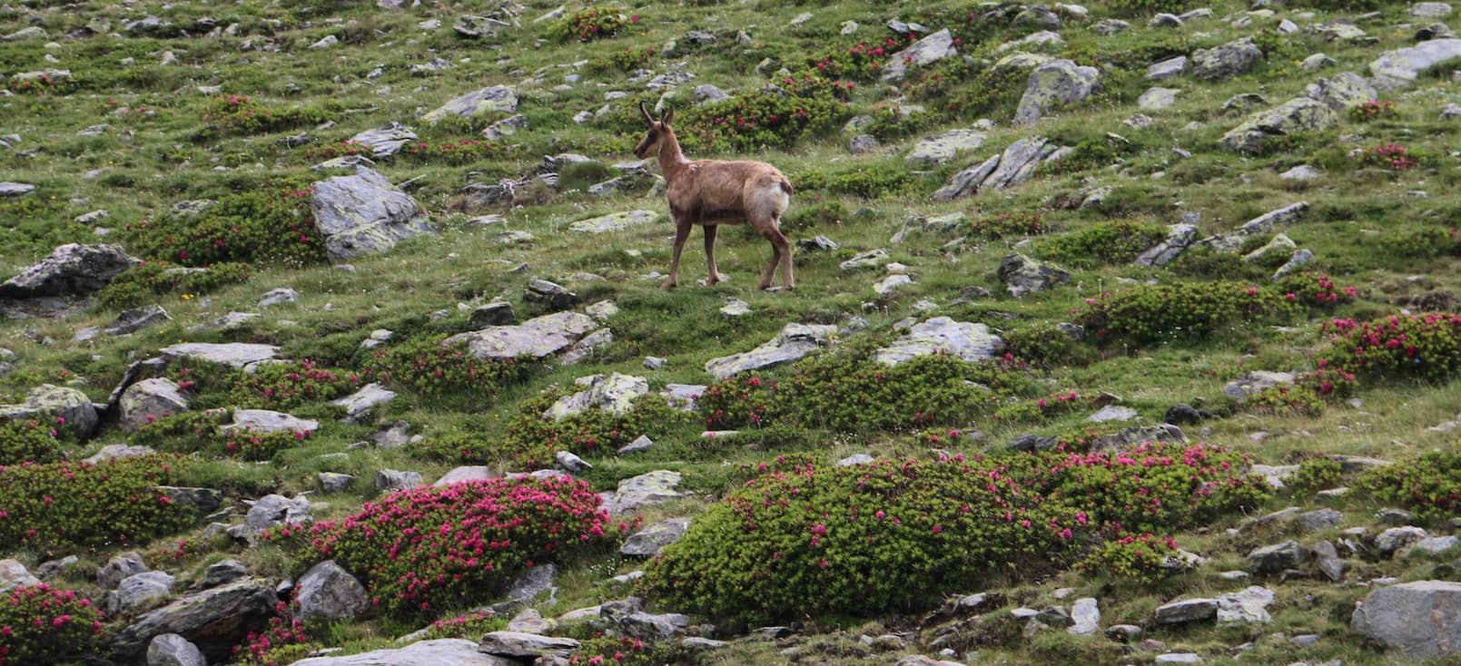 Chamois in the middle of an alpine meadow with abundant rhododendron.