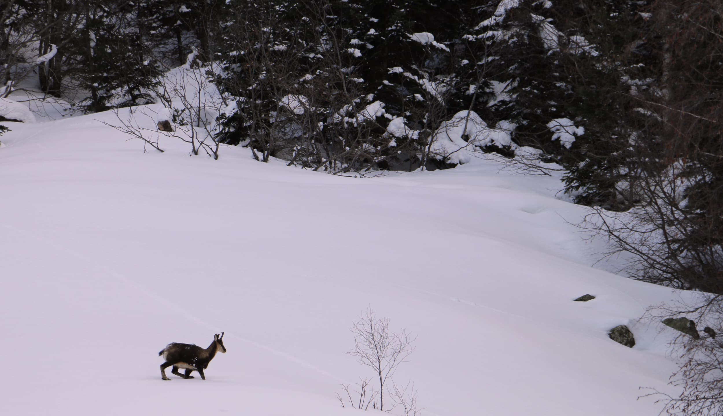 The chamois are adapted to walk in these conditions.