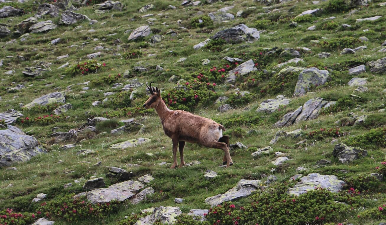 Chamois in an alpine meadow in Puigmal, in the Ripollés county.