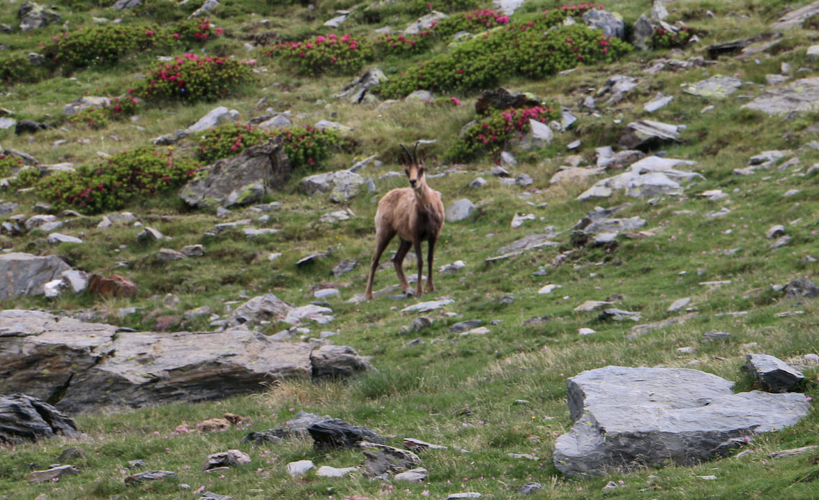 Frontal view of chamois.
