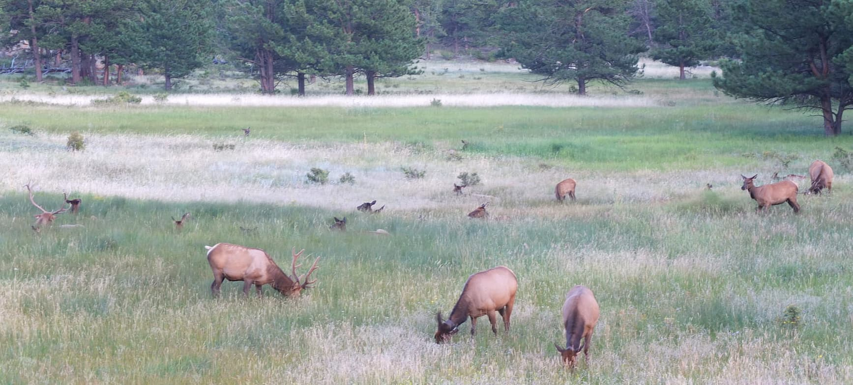 Herd of wapitis in a Rocky Mountains vallery in Colorado.