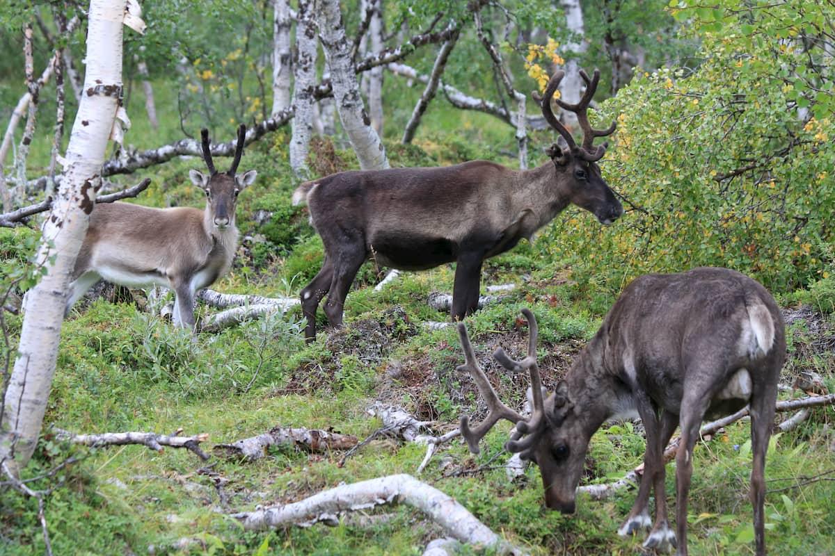 Grupo de renos hembra con crías.