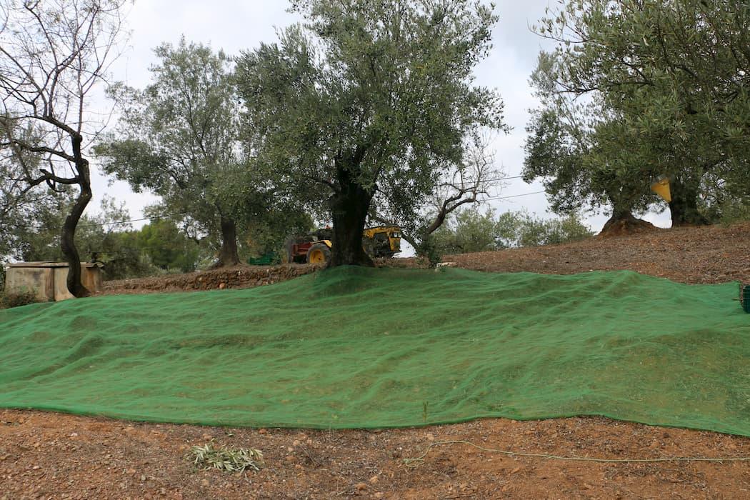 Manton colocado en un olivo.