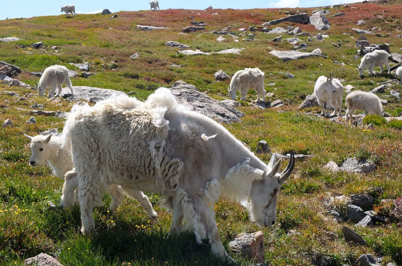 Ramat de cabres salvatges de les Muntanyes Rocalloses.