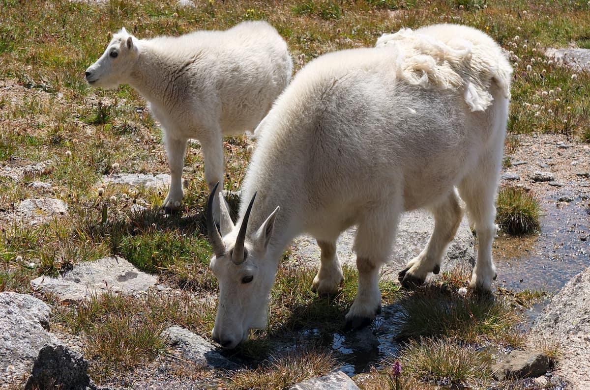 Femella de cabra de les Muntanyes Rocalloses i la seva cria, al mount Evans a uns 3.700m d'altura.