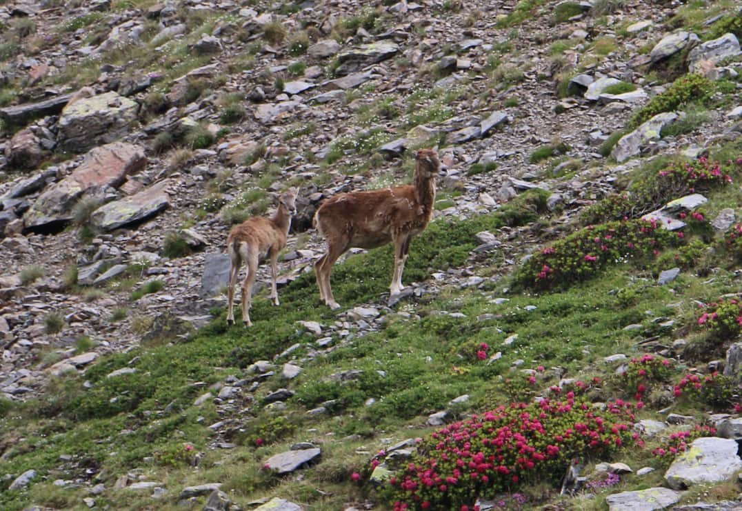 Mouflon in an alpine meadow with rhododendron.