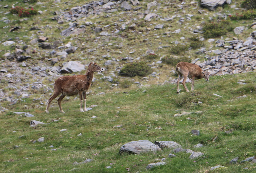 Female mouflon and her calf grazing in a meadow in Puigmal, in Ripollés.
