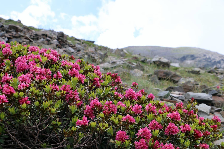 Neret florit al juny al Puigmal, comarca del Ripollés.