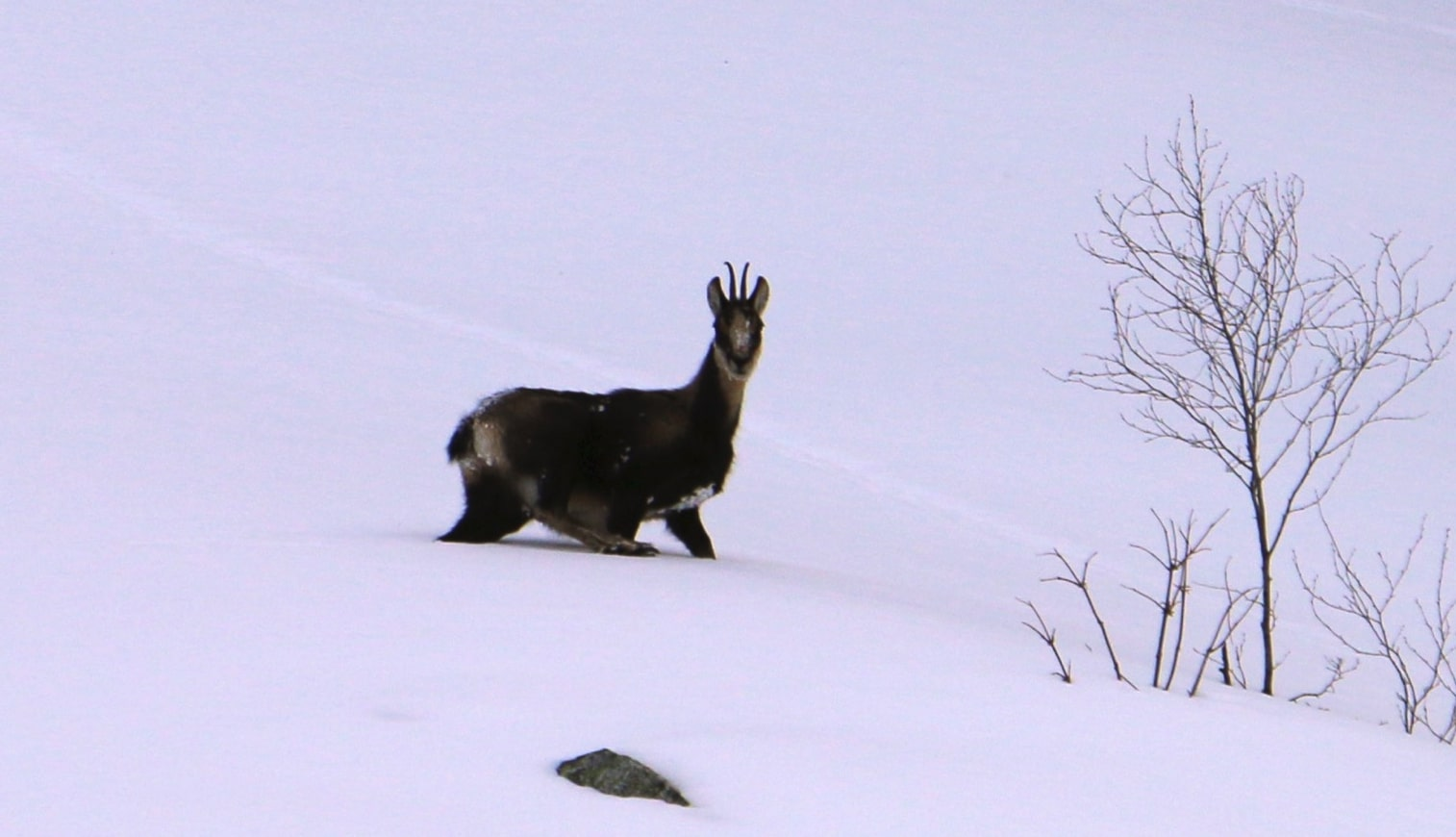 Chamois on the snow in the port of La Bonaigua.