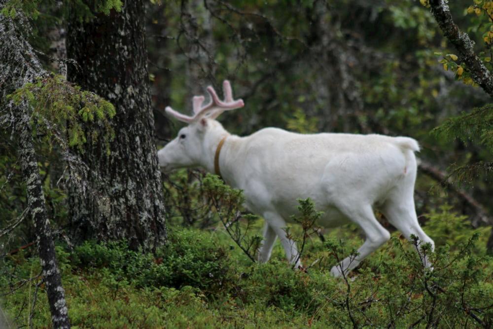 Reno albino en el bosque.