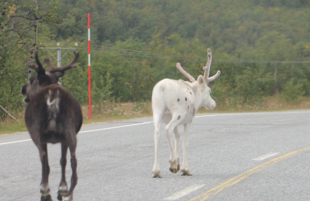 Reno blanco cruzando una carretera en Noruega.