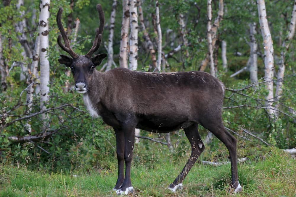 Female reindeer.