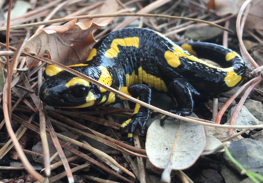 Salamandra entre la hojarasca.