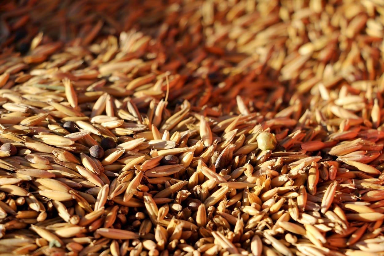 Mezcla de semillas de avena y veza, dentro de la sembradora.