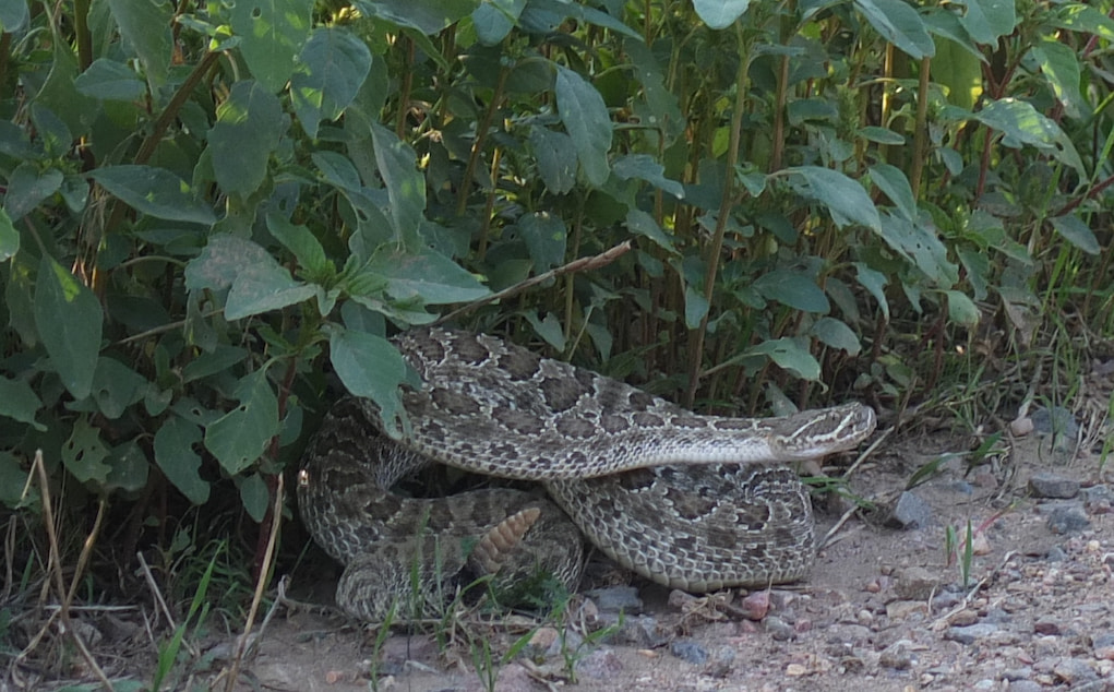 Rattlesnake in alert position.