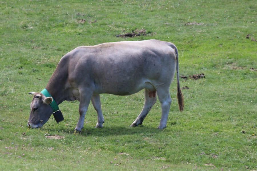 Vaca bruna pastando.