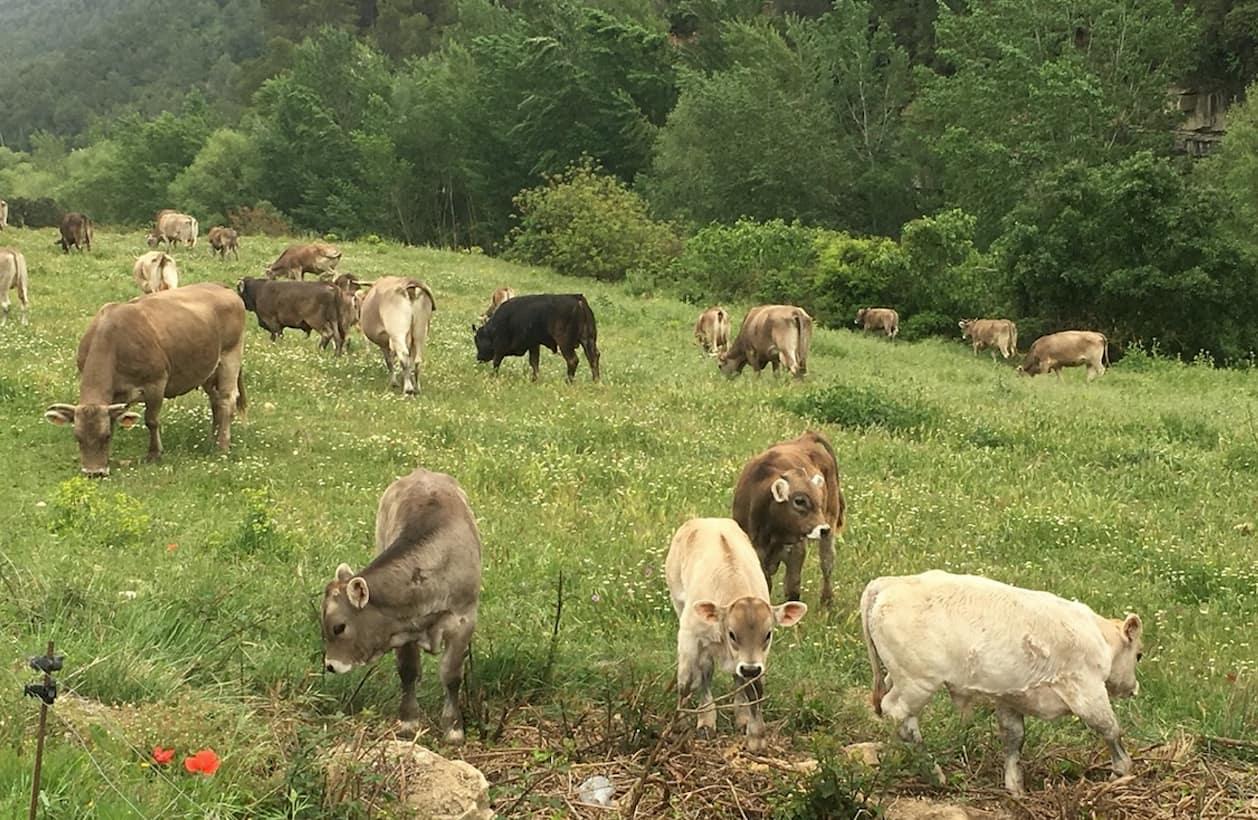 Vaques brunes pasturan al vessant nord de Montserrat.